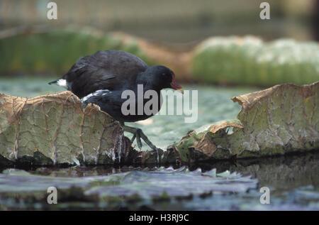 Lake, pond chicken, Gallinula chlorine opus, water lily leaves animals, animal, birds, bird, crane's birds, Gruiformes, - Stock Photo