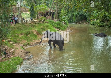 Elephants in the river at the Elephant Orphanage Sri Lanka - Stock Photo