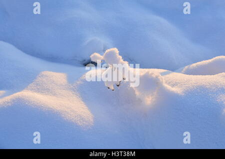 Frozen wild plant in the winter under the snow-white snow in the sunlight - Stock Photo