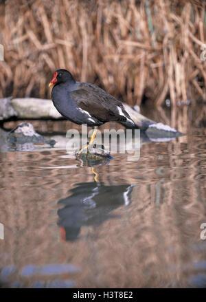 Pond chicken, Gallinula chlorine opus waters, water, lake, river, brook, crane's birds, Kranichvogel, Gruiformes, - Stock Photo