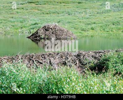 Beaver's lodge, European beavers, Castor fiber Säugetiere, wild animals, rodents, rodents, mammal, mammals, Rodentia, - Stock Photo