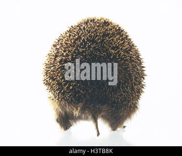 European hedgehog, Erinaceus europaeus, back view mammals, mammal, wild animals, wild animal, sting hedgehog, Erinaceidae, - Stock Photo