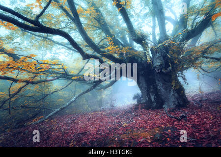 Forest in fog. Old magical tree with big branches and yellow leaves. Mystical autumn forest in blue fog. Old Tree. - Stock Photo