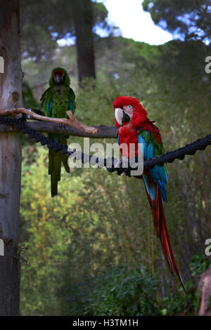 Red-and-blue macaw, Ara ararauna, Macaw parrot - Stock Photo