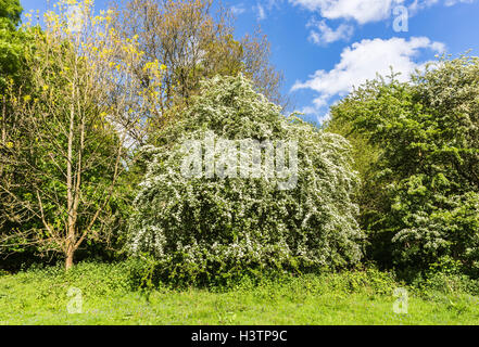 Hawthorn, or may tree (Crataegus) white flowers in spring, Surrey, southern England, UK on a sunny day with blue - Stock Photo