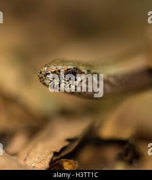 Male Western blindworm (Anguis fragilis) between brown leaves on the forest floor, Usedom Island, Mecklenburg-Western - Stock Photo