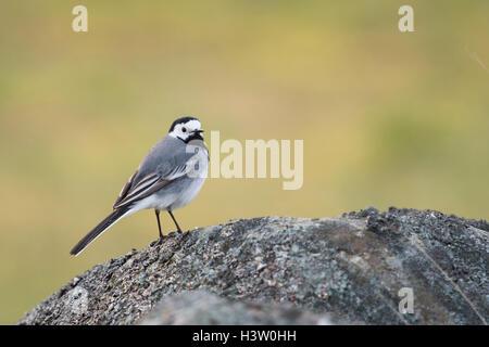 Pied Wagtail / Bachstelze ( Motacilla alba ) single bird, perched on a rock, watching around, wildlife, Europe. - Stock Photo