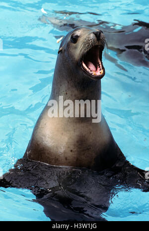 CALIFORNIA SEA LION Zanophus californianus SEA LIFE PARK HAWAII USA - Stock Photo