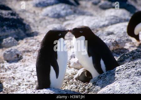1TWO ADELIE PENGUINS (Pygoscelis adeliae) - Stock Photo