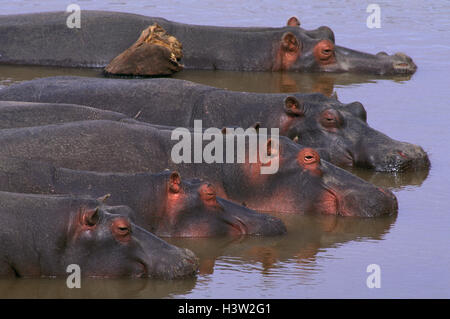 Hippopotamus (Hippopotamus amphibius) - Stock Photo