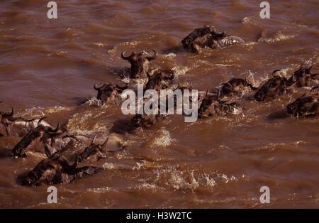Blue wildebeest (Connochaetes taurinus) - Stock Photo