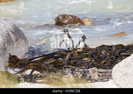 African or Jackass Penguins (Spheniscus demersus) emerging from  the sea at Boulders,South Africa - Stock Photo