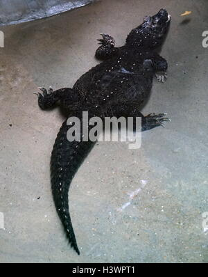 The West African dwarf crocodile - Stock Photo