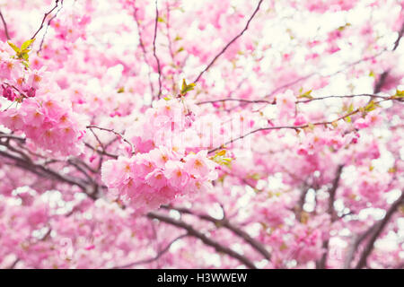 Image of pink cherry blossoms. Shallow depth of field. - Stock Photo