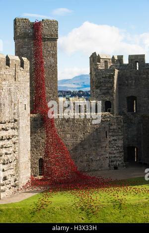 Caernarfon, Wales, UK. 11th October, 2016. A sculpture consisting of thousands of ceramic red poppies marking the - Stock Photo