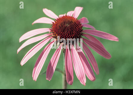 Medicinal plants, red solar hat, Echinacea purpurea, detail, blossom plants, medicinal plants, herbs, medicament - Stock Photo