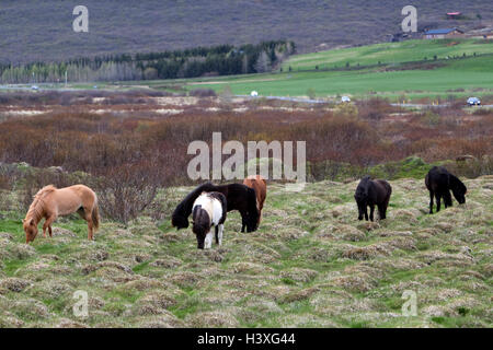herd of icelandic horses in countryside Iceland - Stock Photo