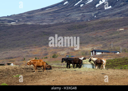 herd of icelandic horses in remote rural mountain countryside Iceland - Stock Photo