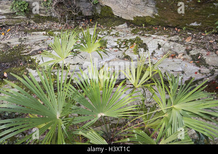 fan palms along a dried up river bed in Italy - Stock Photo