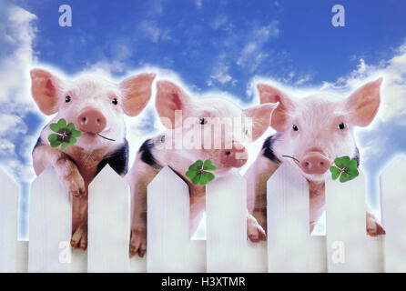 Composing, garden fence, piglet, four-leafed clover, concepts, pigs, pig, luck pig, luck pigs, cloverleaf, 4-leaved, - Stock Photo
