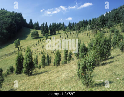 Germany, Swabian nightmare, to Hohenzollern, living in the Tann, front mountain Schaf, juniper moor, Europe, Baden - Stock Photo