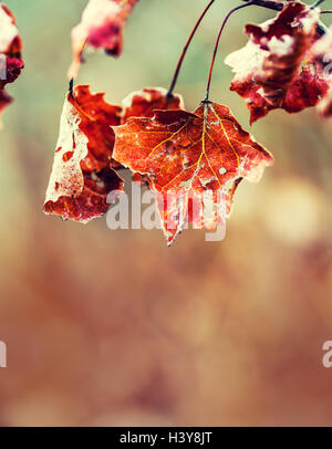 Autumn winter Leaves. Frozen autumn frost cold morning ice maple leaves. Frozen autumn leaves on the branch. - Stock Photo