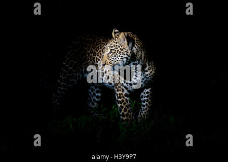 African Leopard (Panthera pardus) standing in the dark, illuminated on the head, Masai Mara national reserve, Kenya. - Stock Photo