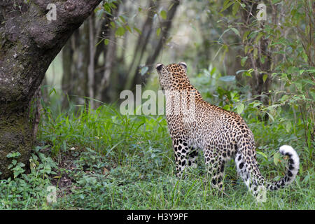 African Leopard (Panthera pardus)standing in forest, seen from back, Masai Mara national reserve, Kenya. - Stock Photo