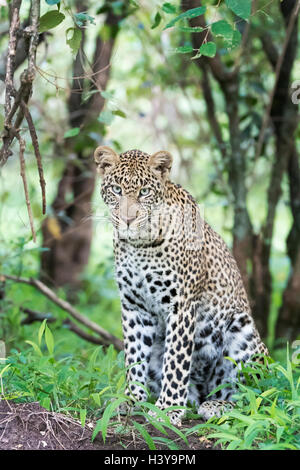 African Leopard (Panthera pardus) sitting in forest, looking at camera, Masai Mara national reserve, Kenya. - Stock Photo