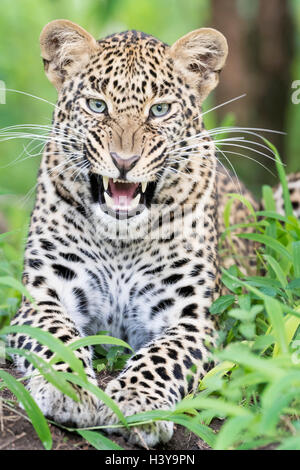 African Leopard (Panthera pardus) lying down in forest and yawning, Masai Mara national reserve, Kenya. - Stock Photo