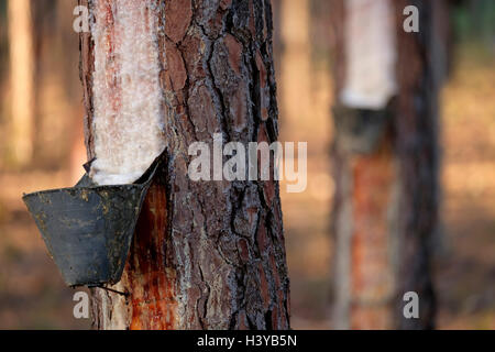 Resin extraction on pine tree - Stock Photo