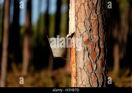 Resin extraction on pine tree - Stock Photo