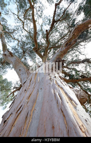Eucalyptus tree - Stock Photo