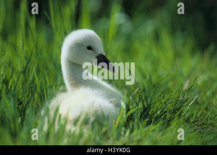 Hump swan (Cygnus olor), chicks - Stock Photo