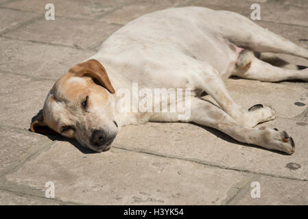A mongrel dog sleeping in the hot sun on a stone path in the summer.  Let sleeping dogs lie. - Stock Photo