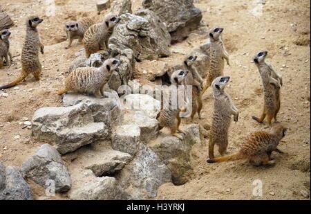 The meerkat or suricate (Suricata suricatta). A small carnivoran belonging to the mongoose family - Stock Photo