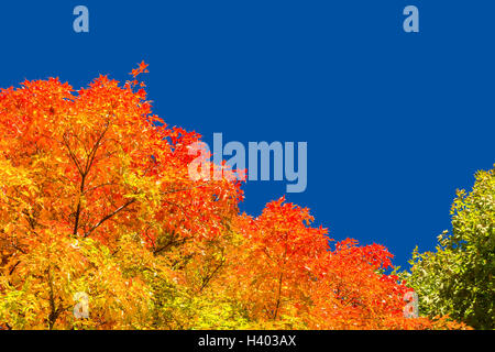 Autumn maple trees with red leaves against pure blue sky in Montreal, Quebec, Canada Stock Photo