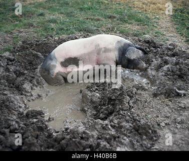 Pig, Wallowing, Animal, Animals, Mammal, Mammals, Benefit animal, Benefit animals, Pigs, Suidae, Parrhufer, Artiodactyla, house pig, Sus scrofa domesticus, Swabian-Hall swine, wallow, puddle, mud, floor place, damp
