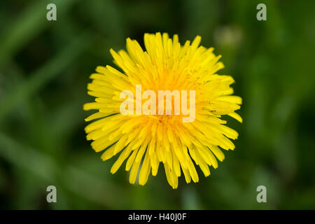 Close-up of bright yellow flower head of a common dandelion - flowering herbaceous perennial plant, seen as an invasive - Stock Photo