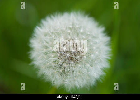 Close-up of a round, silvery dandelion clock or blowball -  fluffy, downy fruiting head, with seeds that disperse - Stock Photo