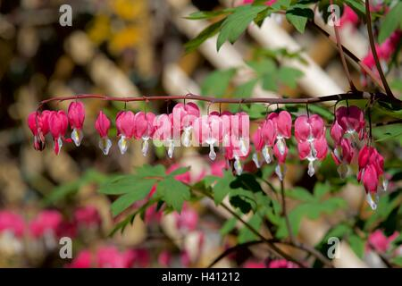 Dicentra Spectabilis- Bleeding Heart - Stock Photo
