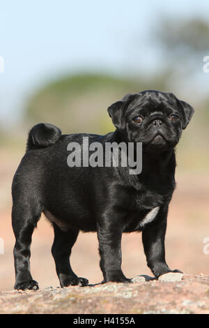 Dog Pug / Carlin / Mops standing profile standard rock in the wild blue sky portrait - Stock Photo
