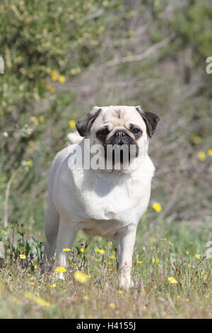 Dog Pug / Carlin / Mops adult fawn Grey gray standing flower flowers in the wild meadow bloom portrait - Stock Photo