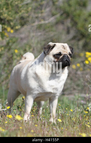 Dog Pug / Carlin / Mops adult  fawn grey gray nature flower bloom - Stock Photo