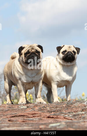 Dog Pug / Carlin / Mops adult, adults, adult mature, mid adult fawn grey gray 2, two, several, together, duo, pair, - Stock Photo