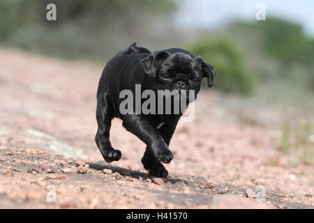 Dog Pug / Carlin / Mops puppy black standing rock in the wild - Stock Photo