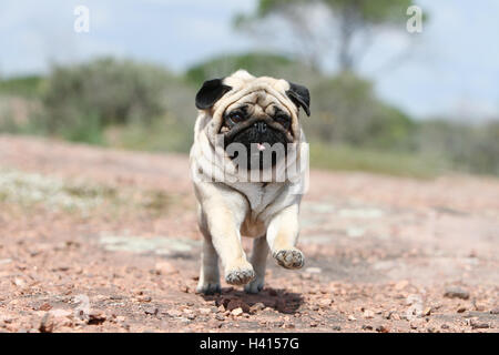 Dog Pug / Carlin / Mops adult fawn grey gray standing rock in the wild - Stock Photo
