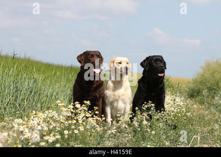 Dog Labrador Retriever  two adult different colors (chocolate, yellow and black) sitting on a meadow - Stock Photo
