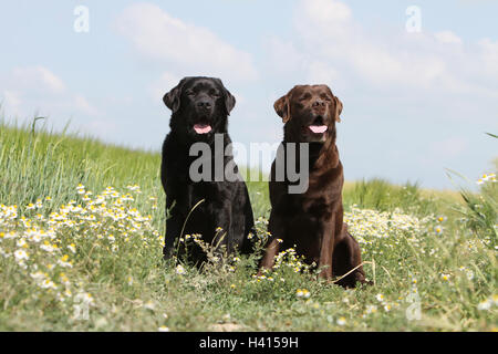 Dog Labrador Retriever  two adult different colors (chocolate and black) sitting on a meadow - Stock Photo