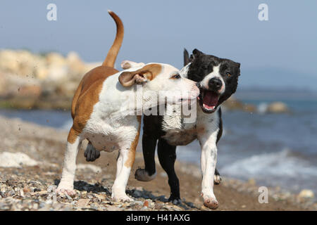 Dog American Staffordshire Terrier / Amstaff  /  two deux 2 severa adults playing on the beach running - Stock Photo